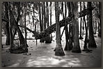 Swamp, Magnolia Plantation, South Carolina